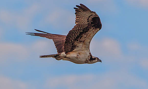 Osprey in Flight by Marc Crumpler