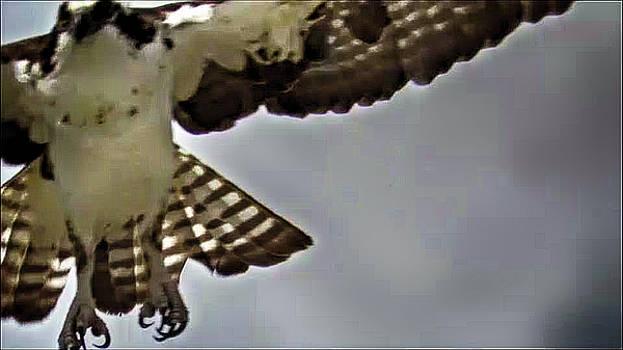 Osprey In Flight  by Mario Carta