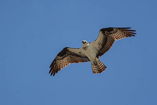 Osprey In Flight Pickwick Dam Tennessee 031620161594 by WildBird Photographs