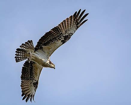 Osprey in Flight by Robert Mitchell