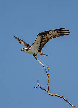 Osprey In Flight With Stick for Nest 031620160877 by WildBird Photographs