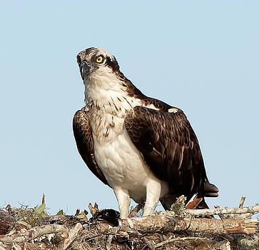 Osprey in Nest by Richard Goldman