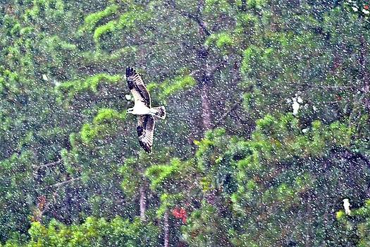 Osprey in Rain by James Potts