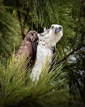 Osprey in the Pine by Kerry Hauser