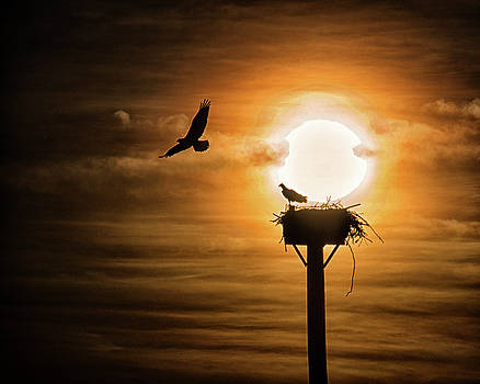 Osprey in the Sun by Bill Swartwout Fine Art Photography