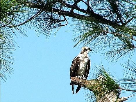 Osprey in Waiting by Carol Allen Anfinsen