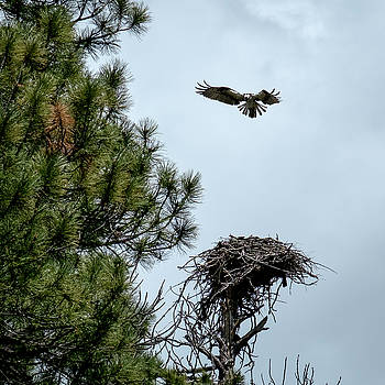 Mary Lee Dereske - Osprey Landing on Nest