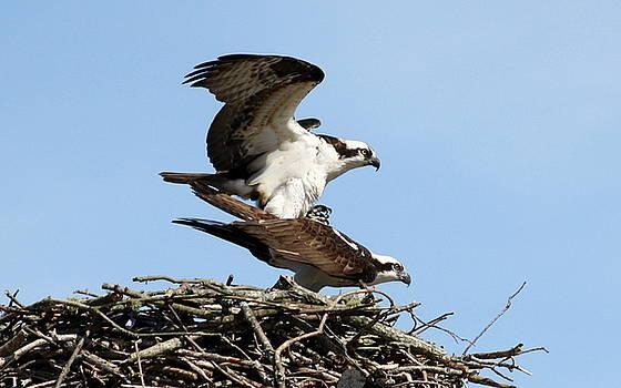Annie Babineau - osprey love IX
