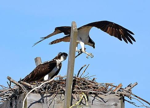 Osprey nest-building by Lorelei Galardi