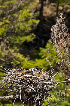 Osprey Nesting High in Wyoming by Natural Focal Point Photography