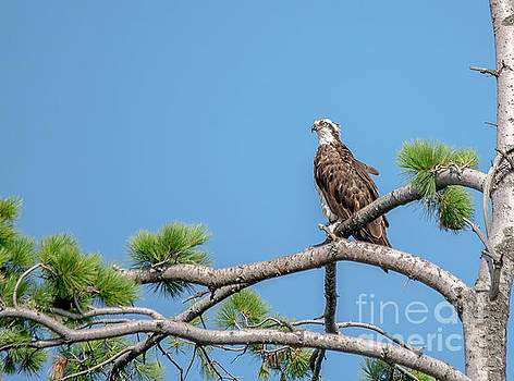 Osprey on Guard by Cheryl Baxter
