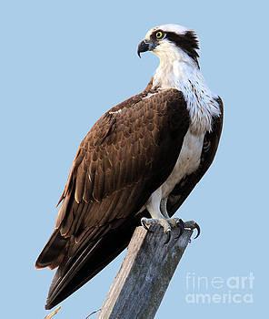 Osprey on perch by Roger Becker