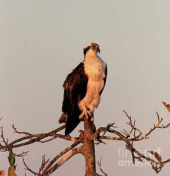 Osprey on the Caloosahatchee River in Florida by Louise Heusinkveld
