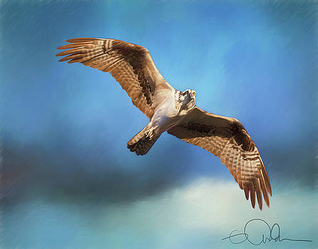 Osprey on the hunt by Gloria Anderson