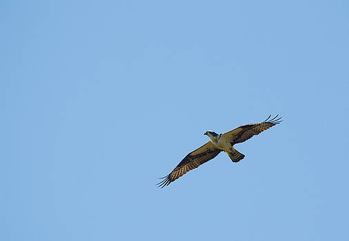 Mike Shaw - Osprey over the James