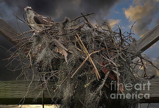 Dale Powell - Osprey Protecting the Nest