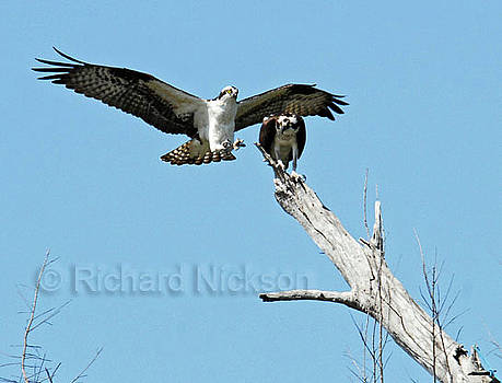 Osprey by Richard Nickson