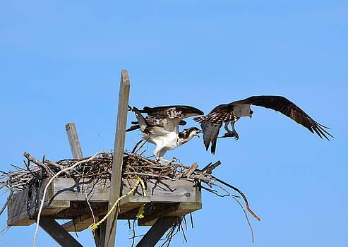 Osprey Spat by Lorelei Galardi