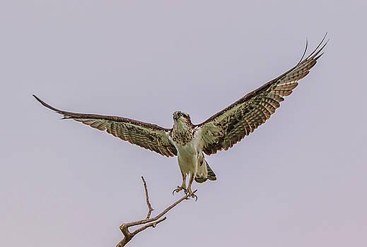 Osprey Take Off by Marc Crumpler