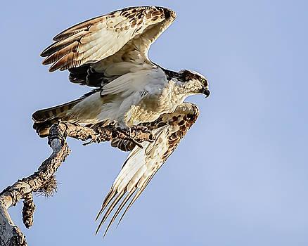 Osprey Taking Flight by Robert Mitchell