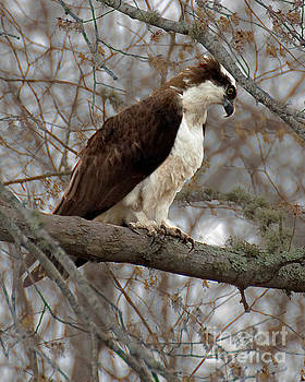 Osprey by Wayne Valler