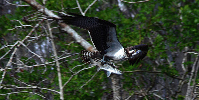 Osprey with catch by Bob O'Dean
