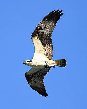 Wingsdomain Art and Photography - Osprey with fish in flight