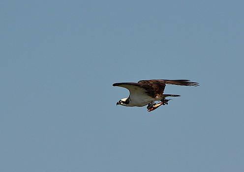Osprey with Fish by Lorelei Galardi