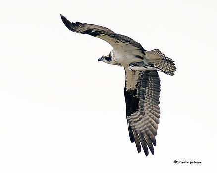 Osprey with Fish by Stephen  Johnson