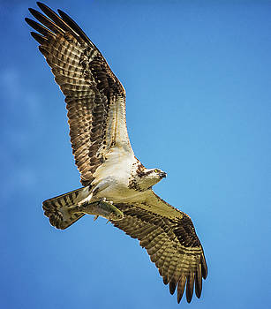 Osprey With It's Breakfast by Cora Ahearn