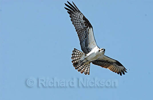 Osprey by Richard Nickson
