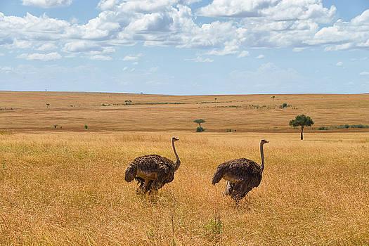 Ostrich by Balram Panikkaserry