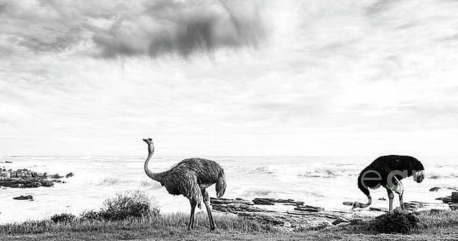Tim Hester - Ostrich Pair Beside Ocean Black and White