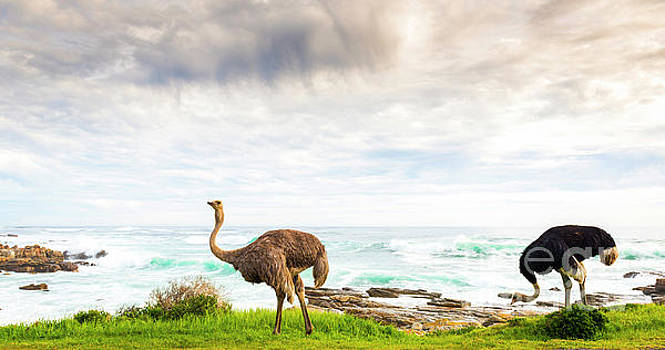 Tim Hester - Ostrich Pair Beside Ocean