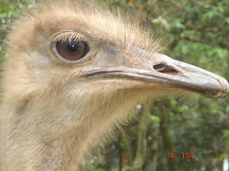 Paulo Zerbato - Ostrich
