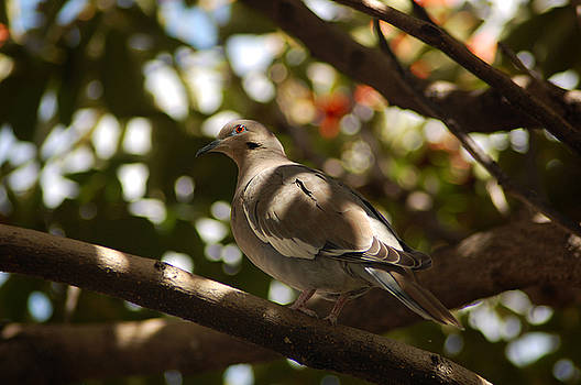 Our Friendly Doves by George Olney