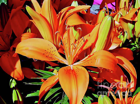 Outstanding Orange Tiger Lilies by D Hackett