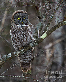 Over There- Great Gray Owl by Lloyd Alexander