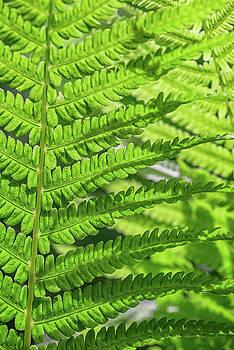 Overlapping Ferns by Rick Berk