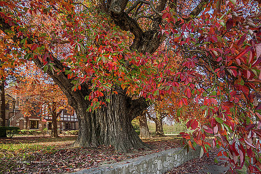Owensboro Sassafras  Tree by Wendell Thompson