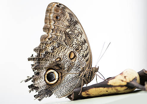 Owl Butterfly on a banana. by Russell Millner