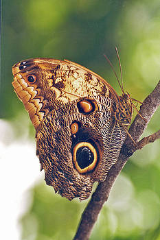 Owl Butterfly by Richard Nickson