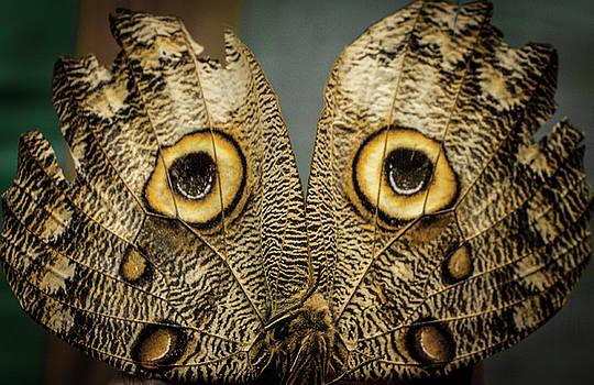 Venetia Featherstone-Witty - Owl Butterfly, Ecuador