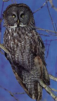 Diane Kurtz - Owl