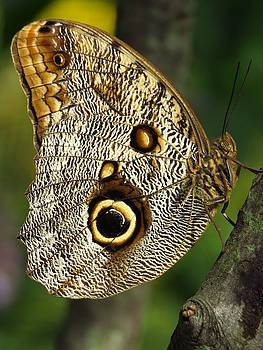 Owl Eye Butterfly  by Lori Frisch