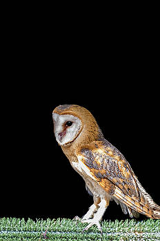 Owl I by Paulo Goncalves