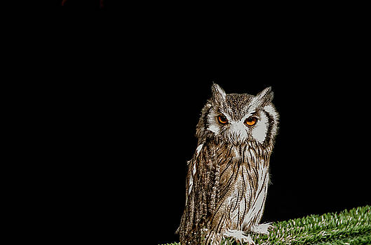 Owl II by Paulo Goncalves