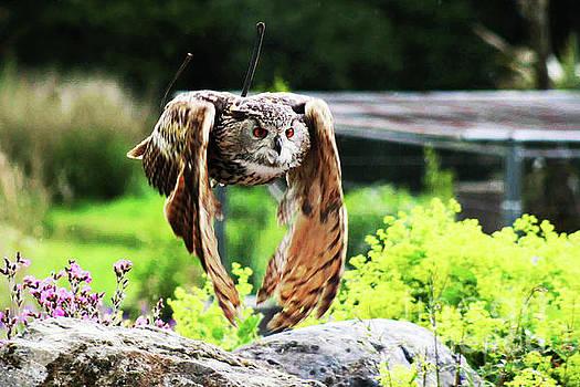 Owl In Flight by Alan Harman