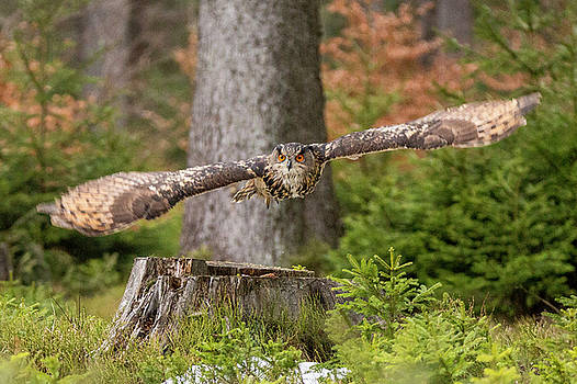 Eagle Owl in flight. by David Hare