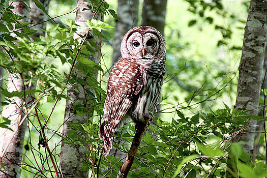 Peggy Collins - Owl in the Forest